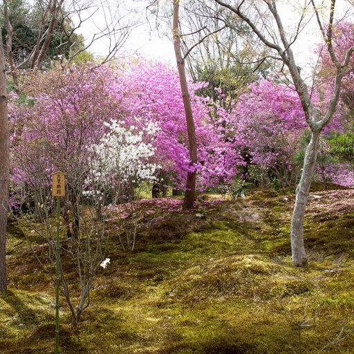 Прогулки по Киото: Жизнь в вишневом цвете