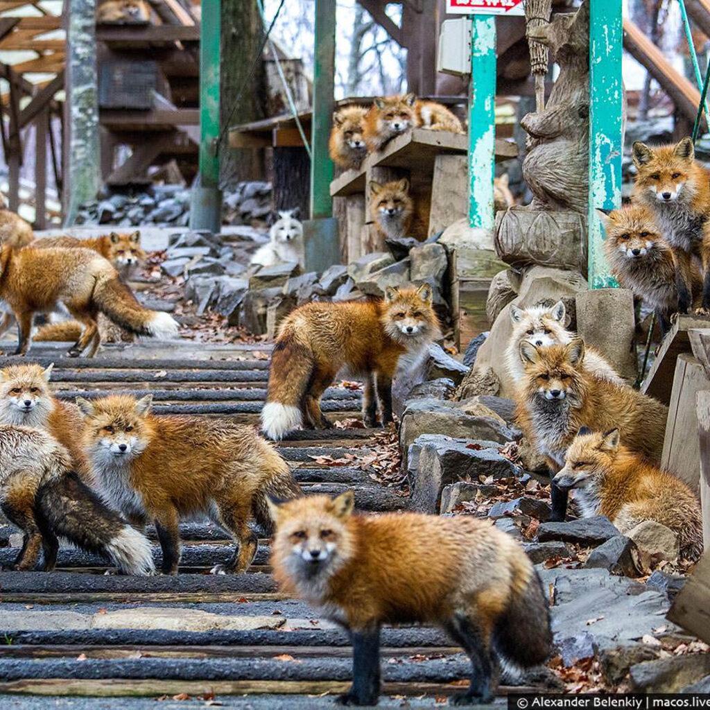 Лисья деревня в Японии