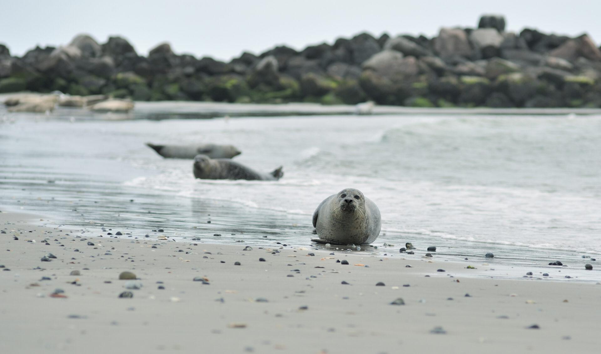 Helgoland— отпиратов дотюленей.