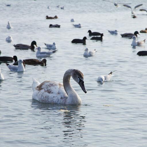Лебеди на переправе