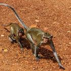 Тайские обезьяны
